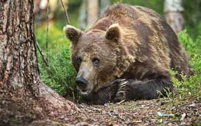 Картинка лес, природа, животное, хищник, медведь, бурый, Александр Перов