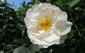 Картинка Роза, Цветок, Белая, Meduzanol ©, Лето 2018