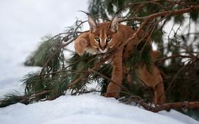 Картинка снег, ветки, детёныш, котёнок, рысь, дикая кошка, каракал