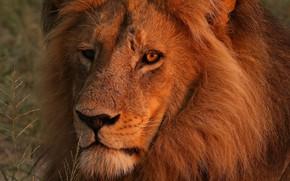 Картинка глаза, взгляд, морда, крупный план, портрет, лев, грива