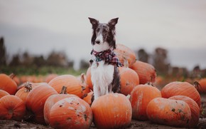 Картинка осень, собака, тыквы