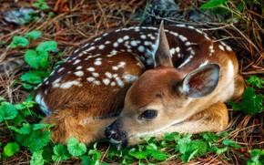 Картинка взгляд, листья, поза, Бэмби, мордочка, лежит, олененок, детеныш, оленёнок, белохвостый олень, свернулся клубочком