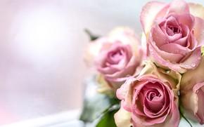 Картинка капли, розы, букет, воды, розовые