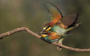 Картинка любовь, птицы, поза, фон, птица, две, ветка, пара, яркое оперение, интим, щурки, золотистая щурка, спаривание