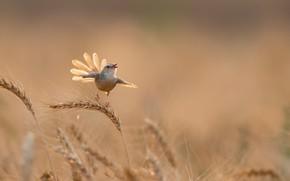 Картинка лето, птица, колосья