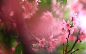 Картинка цветы, ветки, вишня, зеленый, фон, весна, сакура, розовые, цветочки, цветение, весеннее