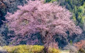 Картинка лес, солнце, деревья, весна, сакура, цветение, кусты
