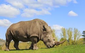 Картинка rhinoceros, mammal, huge