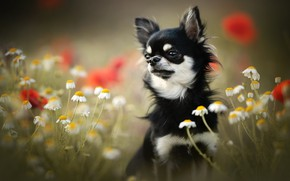 Картинка цветы, ромашки, собака, мордашка, боке, пёсик, Чихуахуа