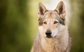 Картинка взгляд, морда, волк, портрет, собака, зеленый фон, пёс, боке, волчья собака, волчья собака Сарлоса, волчак
