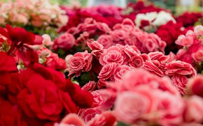 Картинка цветы, красные, розовые, много, боке, букеты, бегония