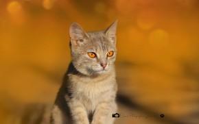 Картинка кошка, котенок, фон