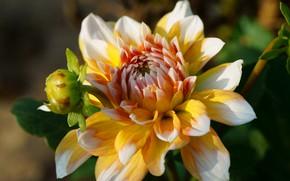 Картинка цветок, листья, макро, свет, фон, лепестки, сад, бутон, георгина, желтая, яркая, георгины, дахлия