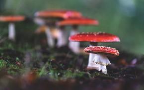 Картинка осень, природа, грибы, мухоморы