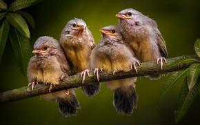 Картинка листья, природа, ветка, птички, птенцы, квартет, кустарница