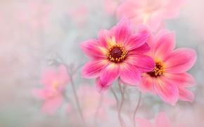 Картинка цветы, сад, розовые, светлый фон, георгины