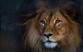 Картинка взгляд, морда, темный фон, портрет, лев
