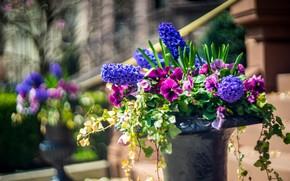 Картинка зелень, листья, цветы, город, настроение, улица, яркие, букет, размытие, весна, фиолетовые, анютины глазки, вазон, сиреневые, …