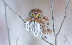 Картинка взгляд, ветки, сова, птица, сыч