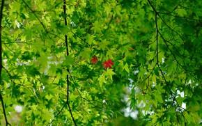 Картинка зелень, ветки, красные листья, зелёные листья