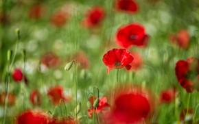 Картинка лето, цветы, поляна, яркие, мак, маки, луг, красные, боке, размытый фон, маковое поле