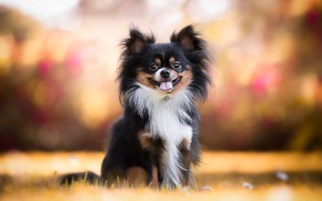 Картинка осень, язык, трава, оранжевый, фон, собака, щенок, собачка, малышка, боке, той-терьер