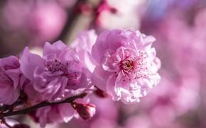 Картинка цветы, весна, сакура, розовые, цветение