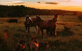 Картинка поле, лес, собаки, небо, закат, природа, конь, лошадь, кони, вечер, коровы, лошади, пастбище, луг, гнедые