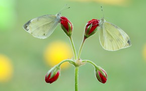 Картинка макро, бабочки, цветы, насекомые, зеленый, фон, бабочка, две, стебель, пара, красные, белые, парочка, дуэт, бутоны, …