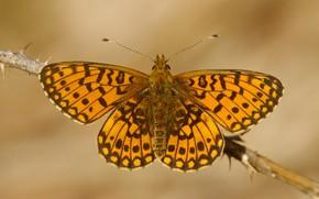 Картинка макро, фон, узор, бабочка, крылья, ветка, насекомое, рыжая