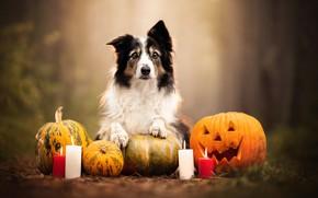 Картинка собака, свечи, тыквы, Хэллоуин