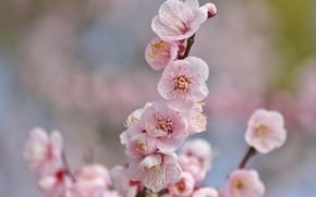 Картинка цветы, веточка, сакура