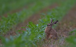 Картинка зелень, поле, взгляд, поза, растение, куст, заяц, трапеза