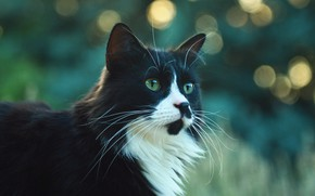 Картинка кошка, кот, взгляд, морда, природа, блики, черно-белый, портрет, котик, пушистый, зеленый фон, зеленые глаза, боке, …