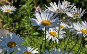 Картинка зелень, лето, свет, цветы, поляна, ромашки, белые, нивяник
