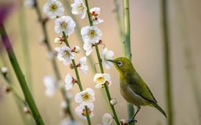 Картинка ветки, природа, весна, птичка, цветки, белоглазка, белый глаз