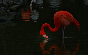 Картинка взгляд, поза, отражение, темный фон, камни, птица, берег, фламинго, водоем, розовый фламинго, над водой, склонился