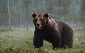Картинка лес, трава, взгляд, морда, деревья, природа, поза, туман, фон, стволы, поляна, утро, медведь, мишка, прогулка, …