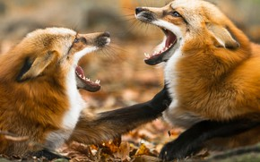 Картинка взгляд, игра, две, лапы, драка, пасть, лиса, пара, лисы, морды, ссора, лисицы, мочилово, две лисы