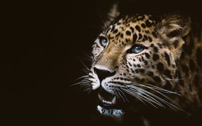 Картинка глаза, взгляд, морда, темный фон, портрет, леопард