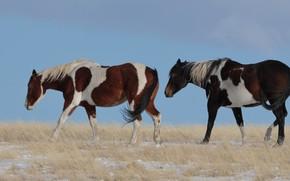 Картинка поле, фон, две, кони, лошади, пара, прогулка, два, две лошади, два коня, пегие