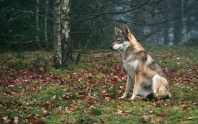 Картинка осень, природа, листва, волк, сидит