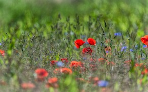 Картинка зелень, поле, лето, цветы, природа, фон, мак, маки, колоски, луг, голубые, красные, полевые, боке, васильки, …