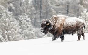 Картинка зима, лес, снег, сугробы, прогулка, снегопад, бык, бизон