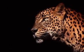 Обои глаза, взгляд, морда, свет, крупный план, портрет, леопард, профиль, черный фон, дикая кошка, красавец