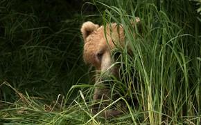 Картинка лето, трава, глаза, взгляд, морда, фон, портрет, медведь, лежит, бурый, выглядывает