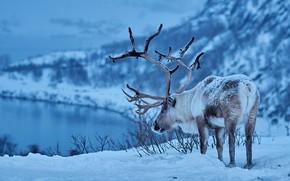 Картинка зима, снег, олень, рога, Северный олень