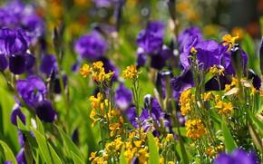 Картинка цветы, желтые, контраст, фиолетовые, клумба, ирисы, боке