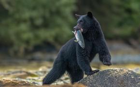 Картинка камень, рыба, медведь, боке, добыча, улов, Барибал, Чёрный медведь
