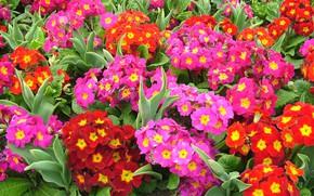 Картинка цветы, весна, Примулы
